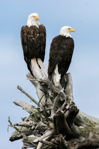 Bald Eagles in Alaska by Mark Nicholas
