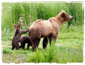 Bear and Cubs by Mark Nicholas