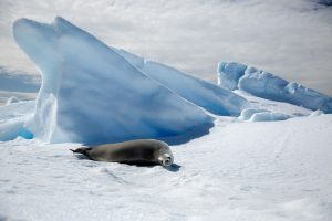 Lion Seal in Antarctica by Mark Nicholas