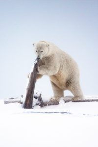 Mama Polar Bear by Mark Nicholas
