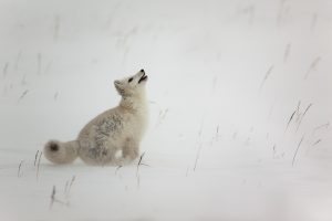 Arctic Fox by Mark Nicholas